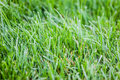Lush lawn macro shot of a vibrant and green grass Stock Photography