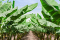 Lush leafage of banana palm trees in orchard plantation rows oasis israel desert Royalty Free Stock Photos