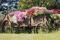 Lush outdoor floral presentation an old farm implement provides an avid horticulturalist with a creative arrangement Stock Photography