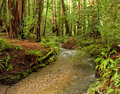 Lush Redwood Forest and Stream, California Stock Photos