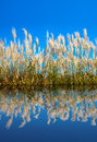 Lush reeds under the blue sky with water ripple reflection Royalty Free Stock Image