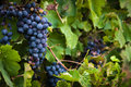 Lush, ripe red wine grapes on the vine with green leaves Royalty Free Stock Photo