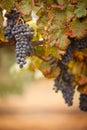 Lush, Ripe Wine Grapes on the Vine Royalty Free Stock Photo