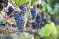 Lush, Ripe Wine Grapes on the Vine Stock Photos