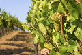 Lush, Ripe Wine Grapes on the Vine Royalty Free Stock Photo