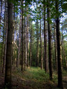 Lush Tall Green Trees in Canadian Forest Royalty Free Stock Photography