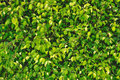 Lush verdure fresh green leaves Royalty Free Stock Photo