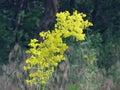Lush yellow flower closeup in wild Royalty Free Stock Photo