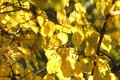 Lush yellow foliage of apricot tree backlit by soft sunlight. Warm weather, sunny day, good autumn mood. Royalty Free Stock Photo