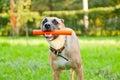 Lustiger brauner hund mit einem stock in seinem mund Lizenzfreies Stockbild