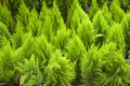 Lustrous green leaves bright scale like coniferous at flower show in lalbagh bangalore karnataka india asia Stock Photos
