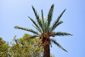 Luxurious crown of the palm tree against the bright blue sky. Royalty Free Stock Photo