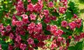 Luxury bush of flowering Weigela Bristol Ruby. Selective focus and close-up beautiful bright pink flowers against evergreen in orn