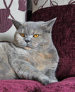 Luxury pedigree cat photo of gorgeous british shorthair on soft sofa Stock Photo