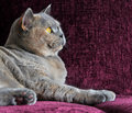 Luxury side profile cat on sofa photo of a beautiful pedigree british shorthair view resting negative space ideal for own Royalty Free Stock Photos