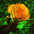 Luxury yellow rose with drops of water on a green magic background Stock Photo