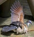 Luzon bleeding-heart pigeon 2 Royalty Free Stock Photo