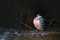 Luzon bleeding-heart in the rain. Gallicolumba luzonica. Royalty Free Stock Photo