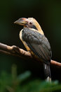 Luzon Hornbill, Penelopides Ma...