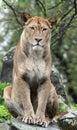 Lwica Zdjęcie Royalty Free