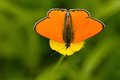 Lycaena dispar butterfly on yellow flower Stock Photo