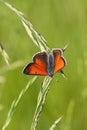 Lycaena dispar haworth on grass blade Royalty Free Stock Images