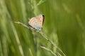 Lycaena dispar haworth on grass blade Stock Images