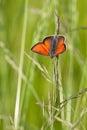 Lycaena dispar haworth on grass blade Stock Photos