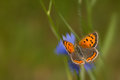 Lycaena phlaeas Royalty Free Stock Photo