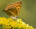 Lycaena virgaureae Royalty Free Stock Photo