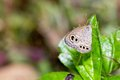 Lycaenidae butterfly Royalty Free Stock Image