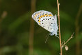 Lycaenidae butterfly the close up of a scientific name polyommatus icarus Stock Images