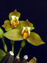 Lycaste deppei Royalty Free Stock Photo