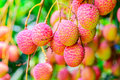 Lychee fruit asia fruit on the tree chiang mai thailand Stock Photos