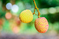 Lychee fruit asia fruit on the tree chiang mai thailand Stock Image