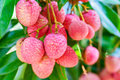 Lychee fruit asia fruit on the tree chiang mai thailand Royalty Free Stock Photography
