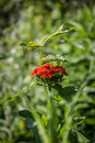 Lychnis chalcedonica and сonvolvulus in the garden Royalty Free Stock Images