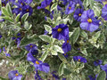Lycianthes rantonnetii variegata blue potato bush 'royal robe variegata' shrub with golden variegated green leaves and purple Royalty Free Stock Photo