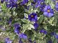 Lycianthes rantonnetii variegata blue potato bush 'royal robe variegata' shrub with golden variegated green leaves and purple Royalty Free Stock Photo