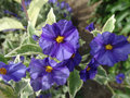 Lycianthes rantonnetii variegata blue potato bush 'royal robe variegata' shrub with golden variegated green leaves and purple Stock Photography