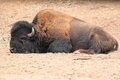 Lying american bison Royalty Free Stock Images