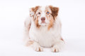 Lying Australian shepherd Stock Photos