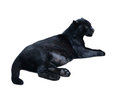 Lying black panthera. Isolated  over white Royalty Free Stock Images