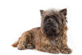 Lying cairn terrier portrait. Stock Photography