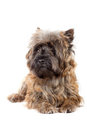 Lying cairn terrier portrait. Royalty Free Stock Photos