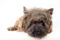 Lying cairn terrier portrait. Stock Photo
