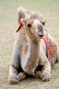 Lying camel Royalty Free Stock Photo