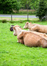 Lying cows on meadow Royalty Free Stock Photo