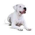Lying  Dogo Argentino. Isolated over white Royalty Free Stock Photo