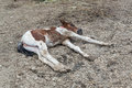 Lying foal sick on ground Royalty Free Stock Photography